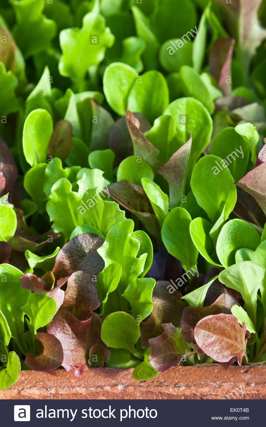 Lactuca sativa Lettuce 'Mesclun Mix' - Stock Image