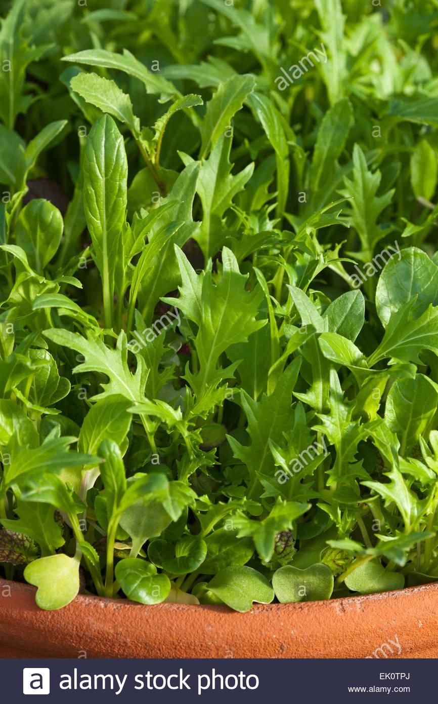 Oriental salad leaf mix - Stock Image