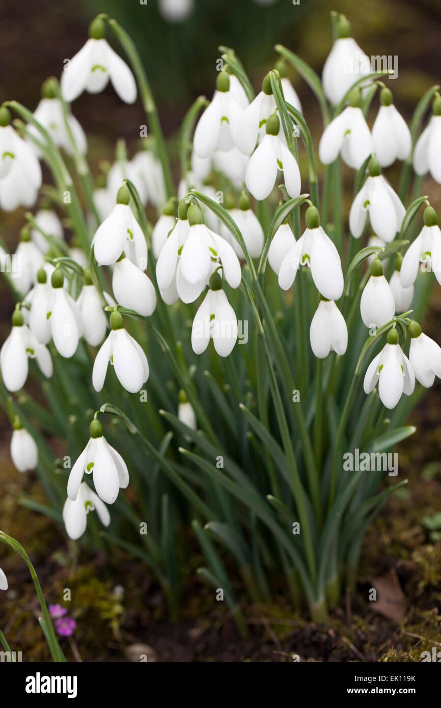 Galanthus S. Arnott snowdrops flowering in an English winter garden - Stock Image