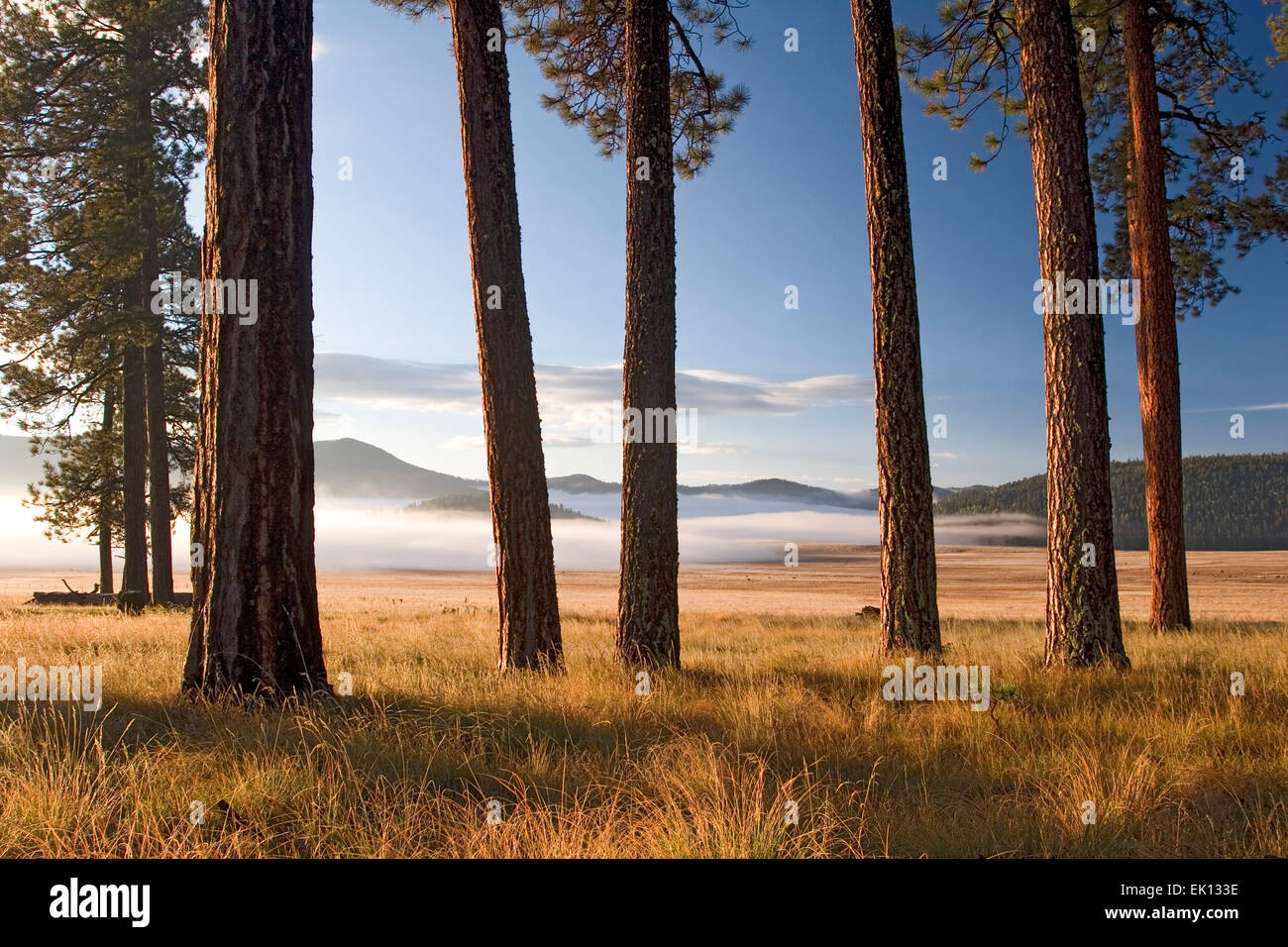 300-400 yr-old trees in 'History Grove', fog on Valle Grande, Valles Caldera National Preserve, near Los - Stock Image