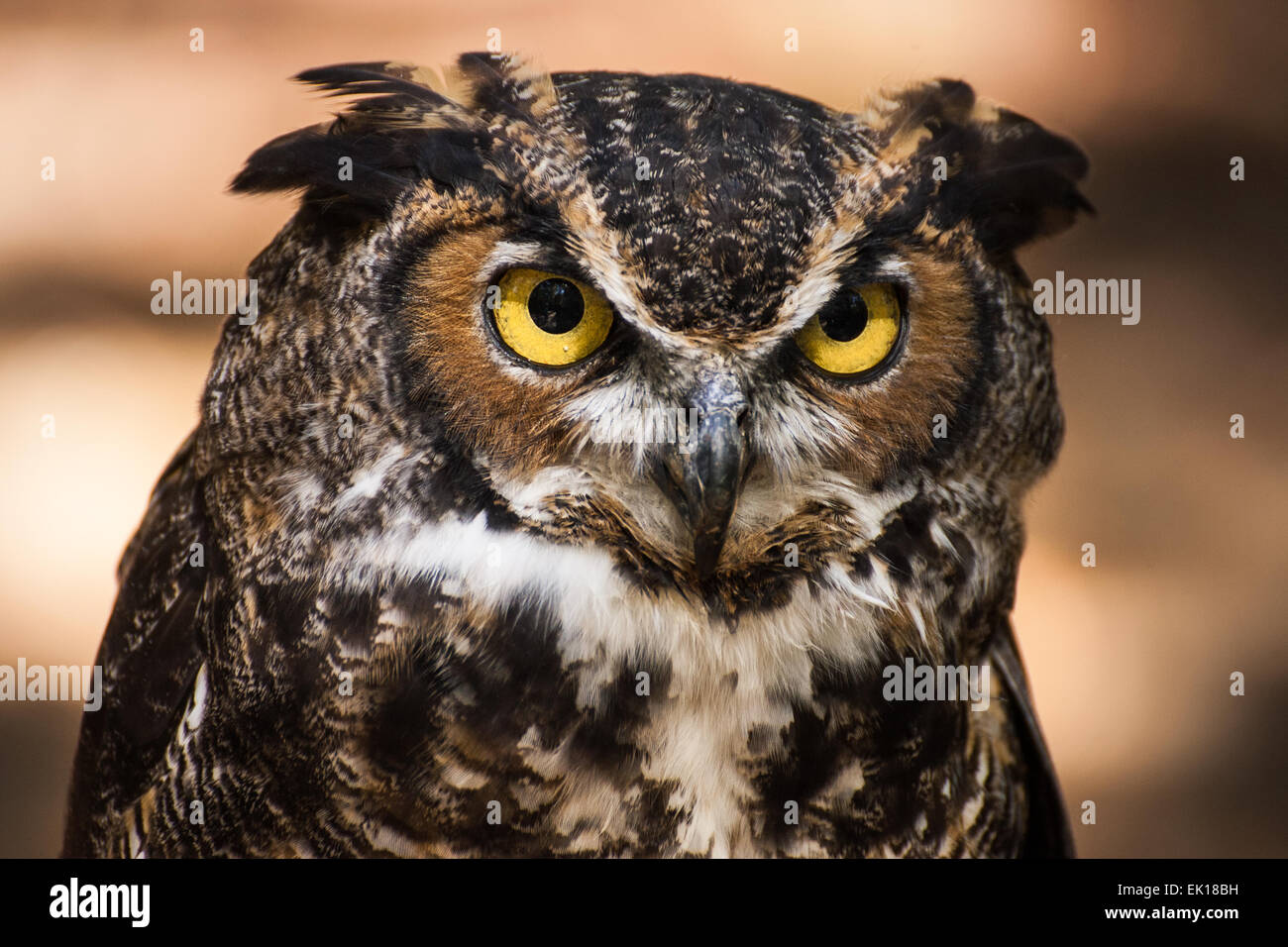 A portrait of a great horned owl. - Stock Image