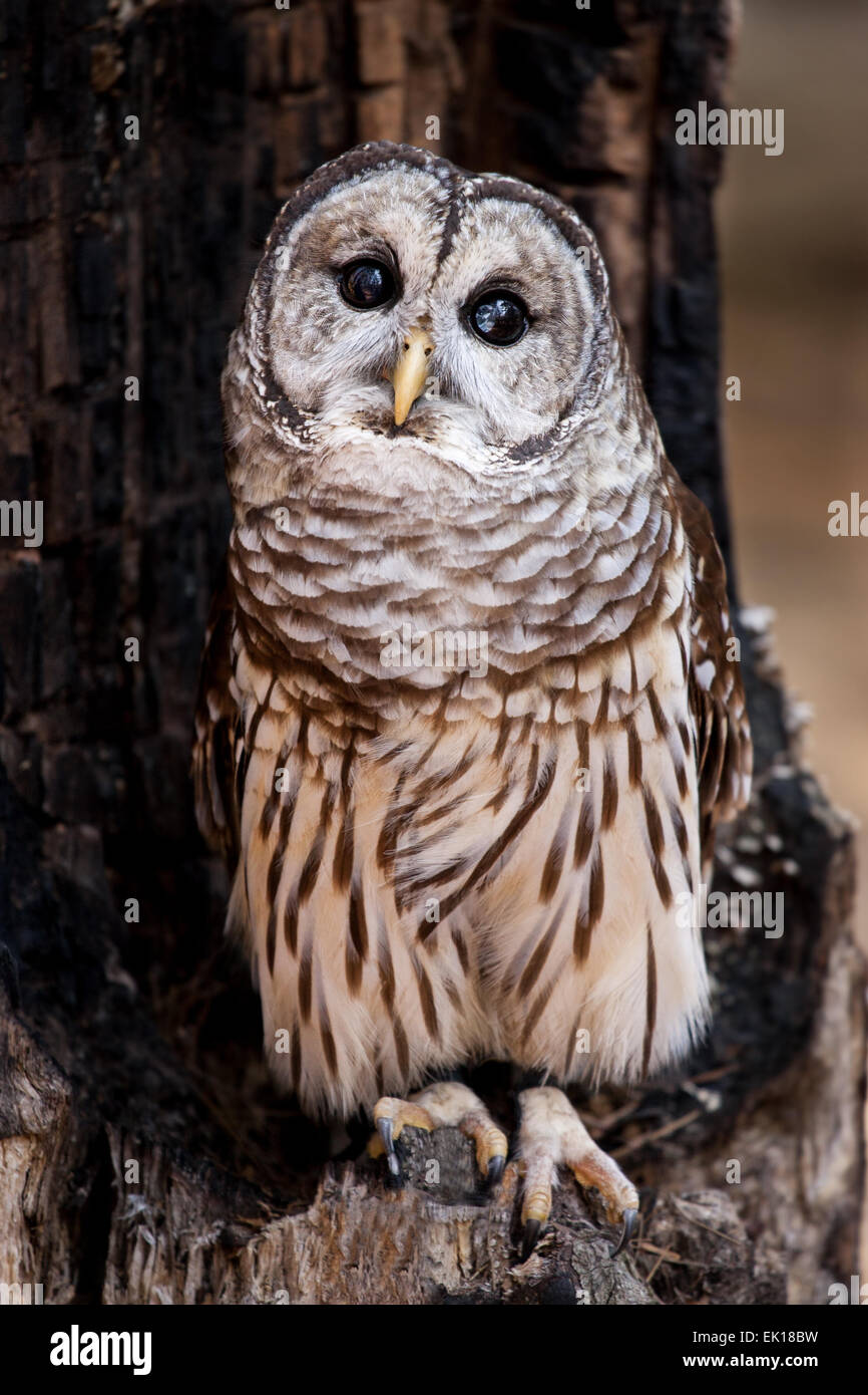 A barred owl perched in a burned out tree. - Stock Image