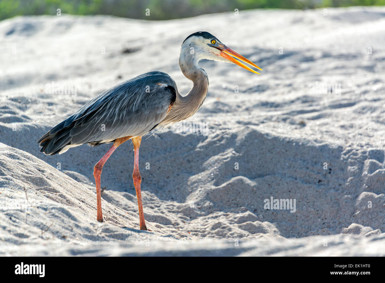 Great Blue Heron on a beach on Santa Cruz in the Galapagos Islands - Stock Image
