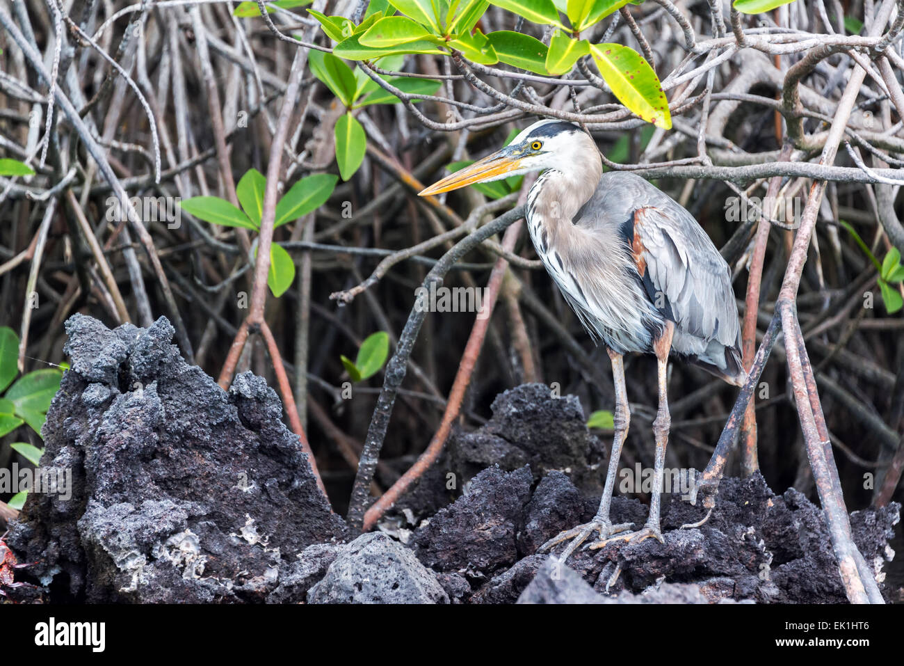 Great Blue Heron standing among a mangrove on Isabela Island in the Galapagos Islands - Stock Image