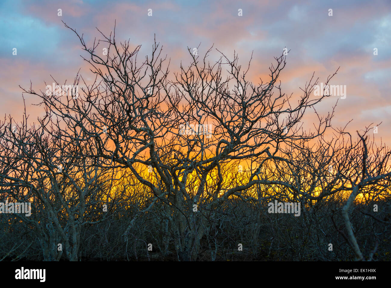 Colorful sunset behind twisted gnarled leafless trees on Genovesa Island in the Galapagos Islands in Eucador - Stock Image