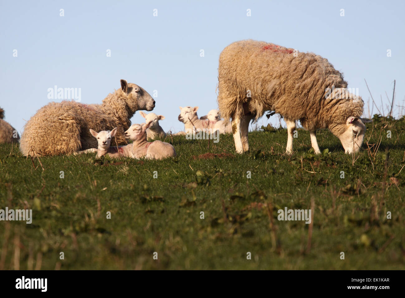 Herefordshire, UK. 5th April, 2015. UK weather: Lambs and ewes bathe in the early morning Easter sunshine in the - Stock Image