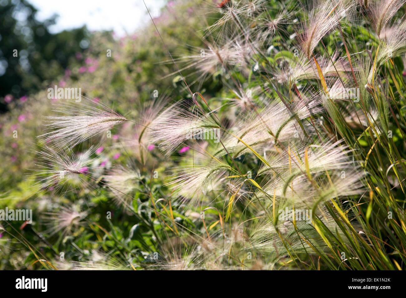Hordeum jubatum - grass seed heads catching the sunlight - Stock Image