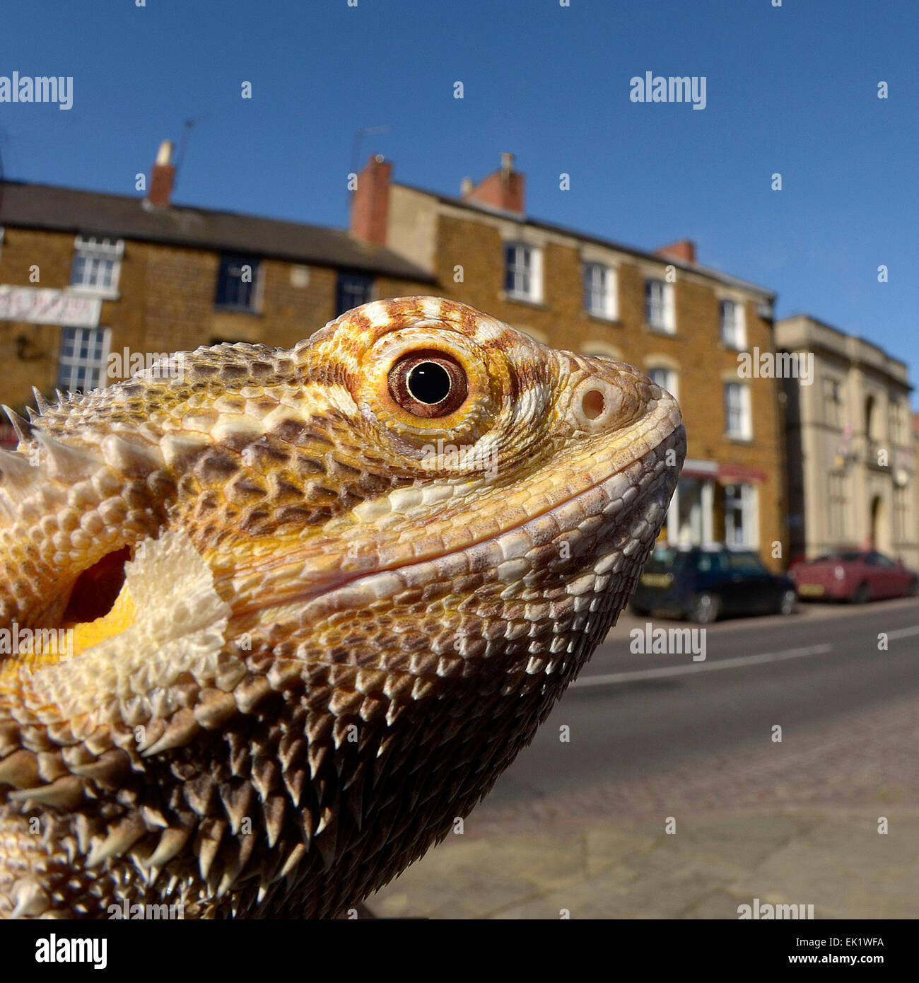 'Monster' on the High Street. 'Buzz', a bearded dragon is taken for a walk in the high street of - Stock Image