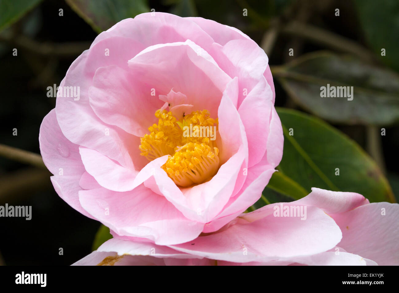 Opening flower of the spring blooming evergreen, Camellia reticulata x saluenensis 'Salutation' - Stock Image