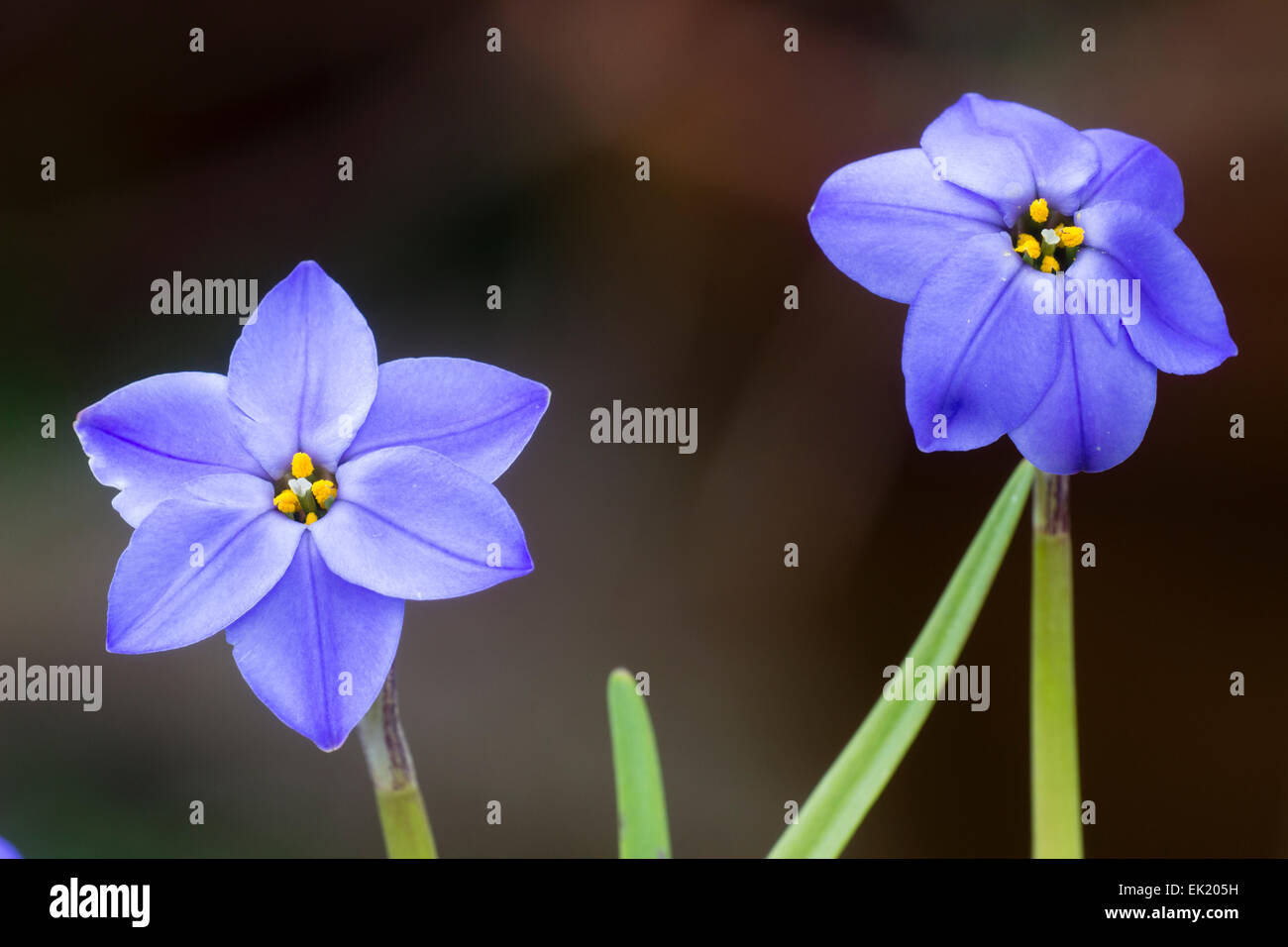 Flowers of the spring bulb, Ipheion uniflorum 'Jessie' - Stock Image
