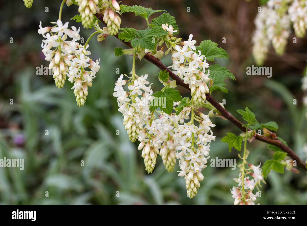 White flowers of the early spring flowering currant ribes white flowers of the early spring flowering currant ribes sanguineum white icicle mightylinksfo