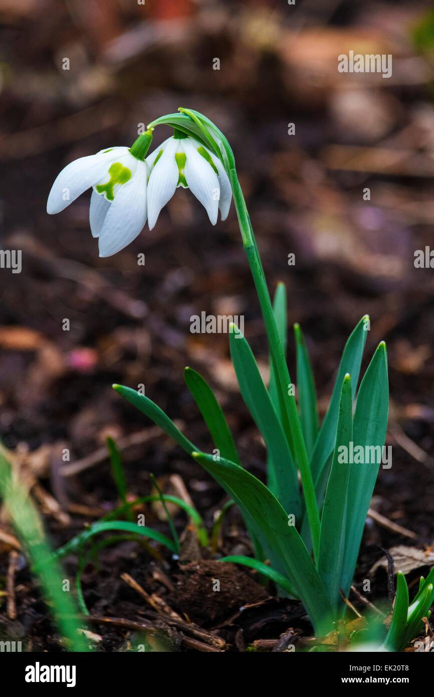 Snowdrop Galanthus 'Richard Ayres' Stock Photo