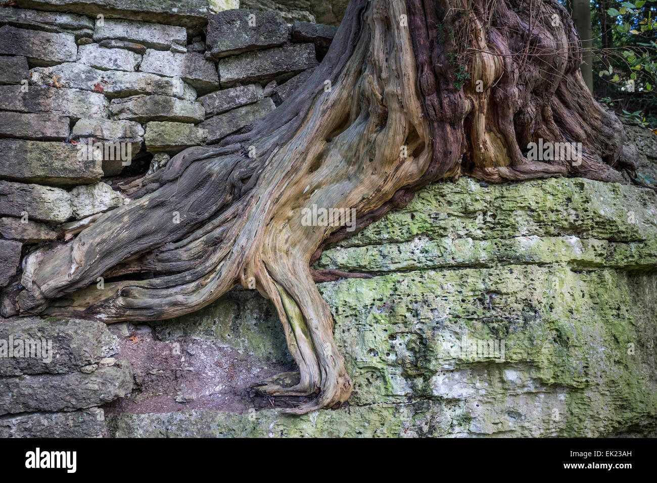 Tree root on rock in Studley Royal park, Ripon, North Yorkshire. - Stock Image