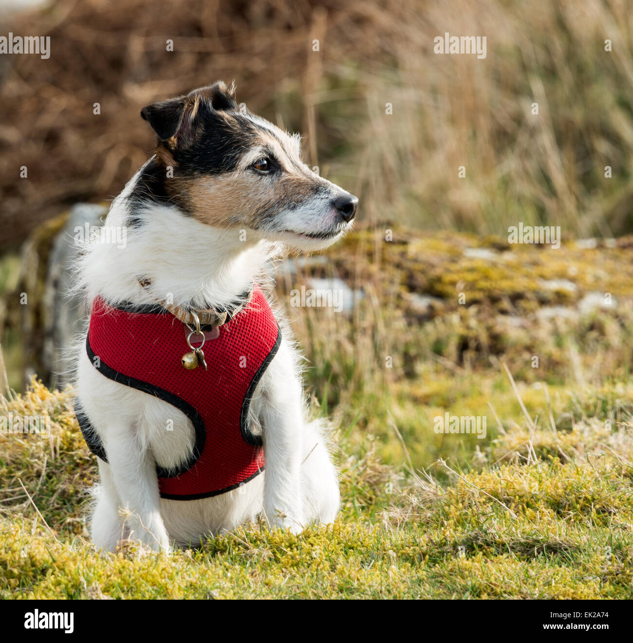 A working Parson Jack Russell Terrier dog wearing a red harness - Stock Image