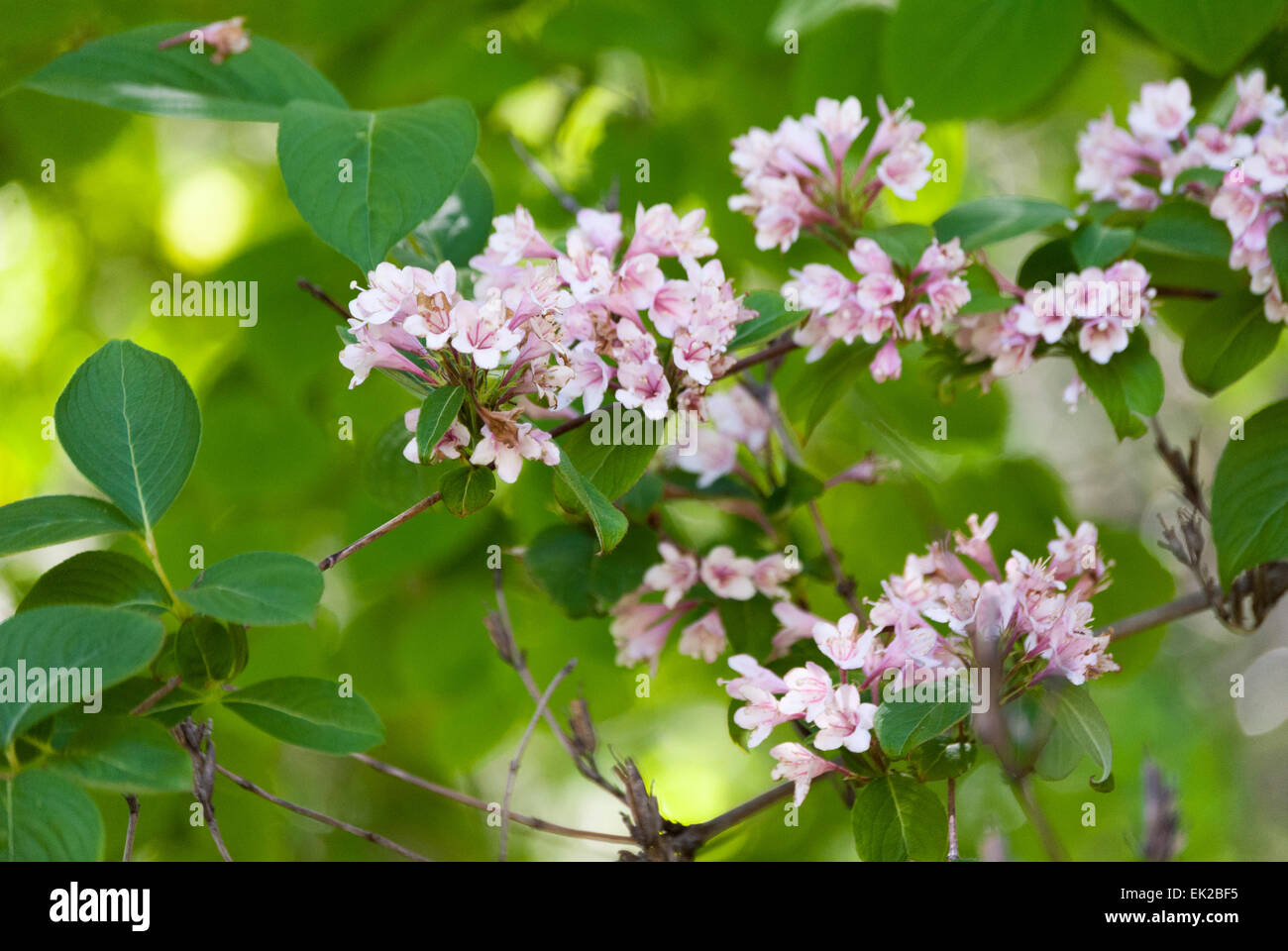 Close Up Of Small Pink And White Flowers With Green Leaves Stock