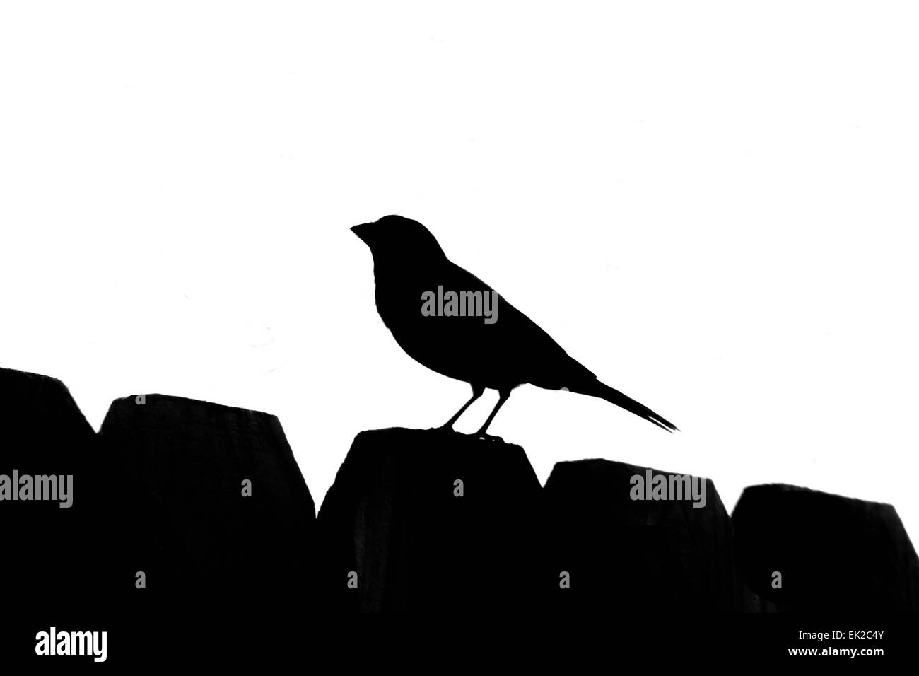 Songbird Silhouette - Stock Image