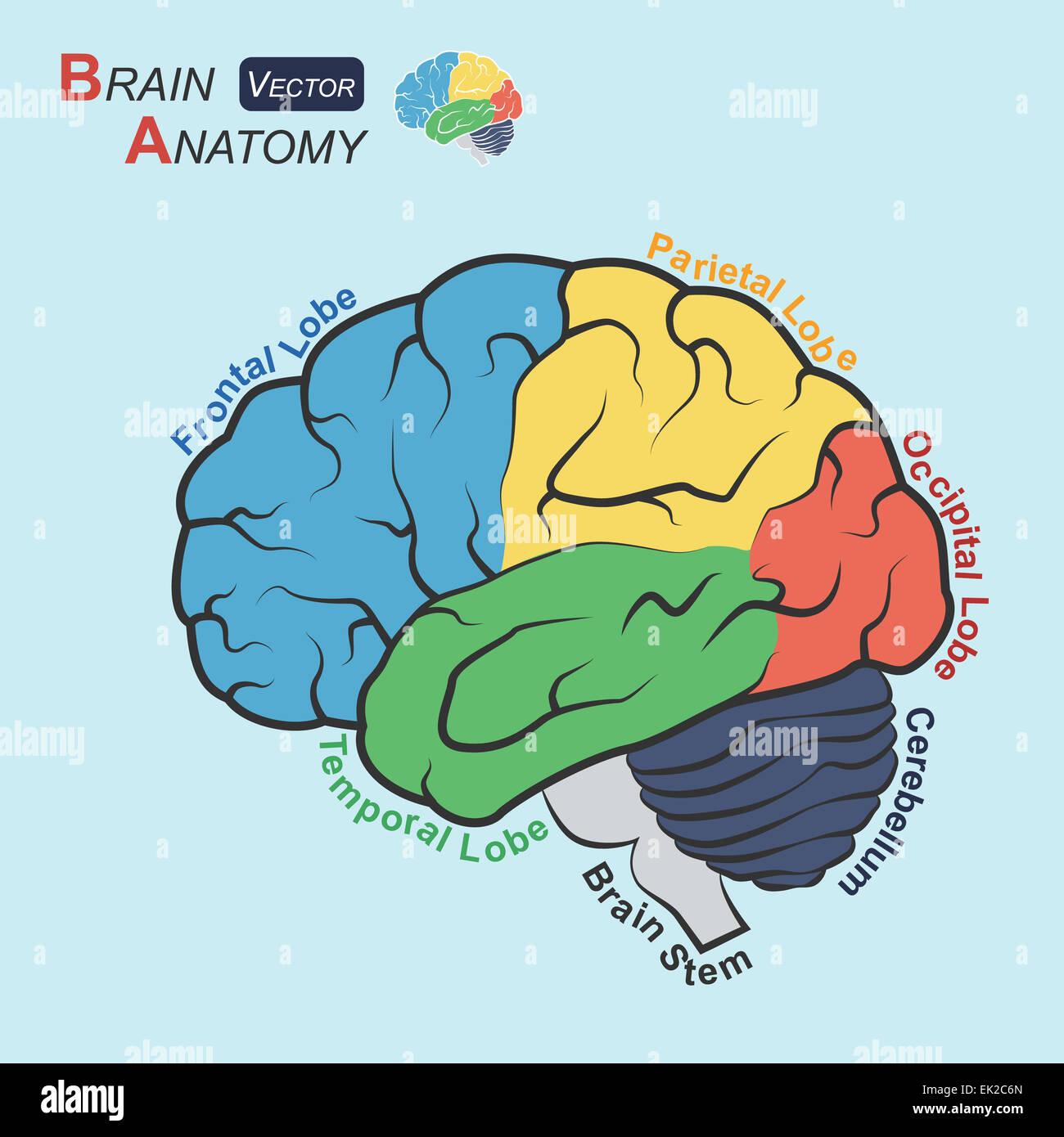 Brain anatomy ( Flat design ) ( Frontal lobe , Temporal Lobe Stock ...