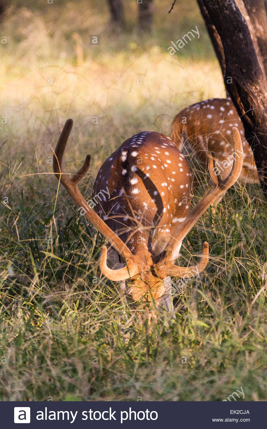 Deers grazing in grassland - Asia - India - Stock Image