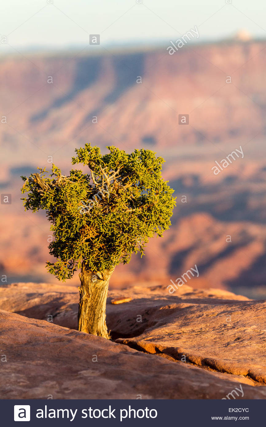 A single juniper tree grows in a crack of sandstone above the canyons of Canyonlands National Park - Utah - USA Stock Photo