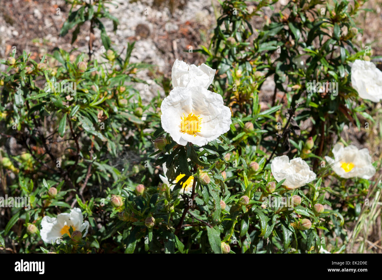 Flowers of Gum rockrose, Cistus ladanifer - Stock Image