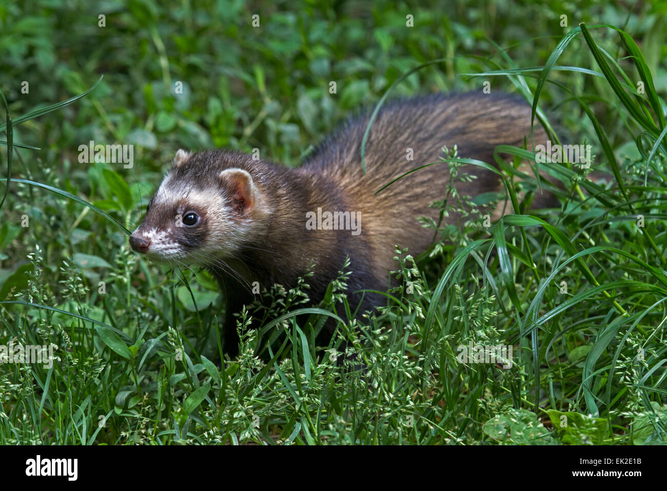 Furet High Resolution Stock Photography And Images Alamy
