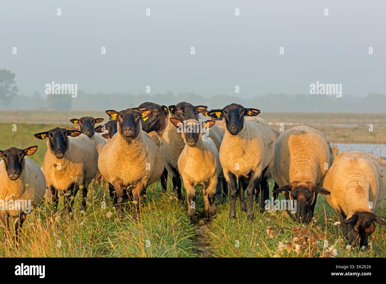 Domestic sheep / Ovis orientalis aries - Stock Image