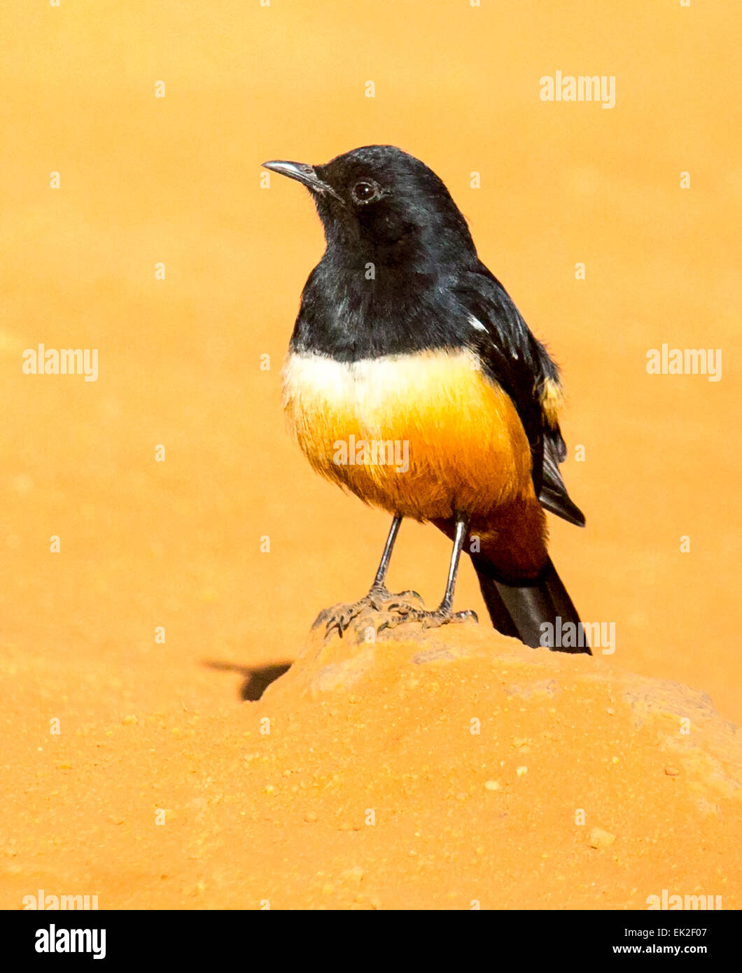 Male Mocking Chat (Thamnolaea cinnamomeiventris) in  Pilanesberg National Park, South Africa. - Stock Image