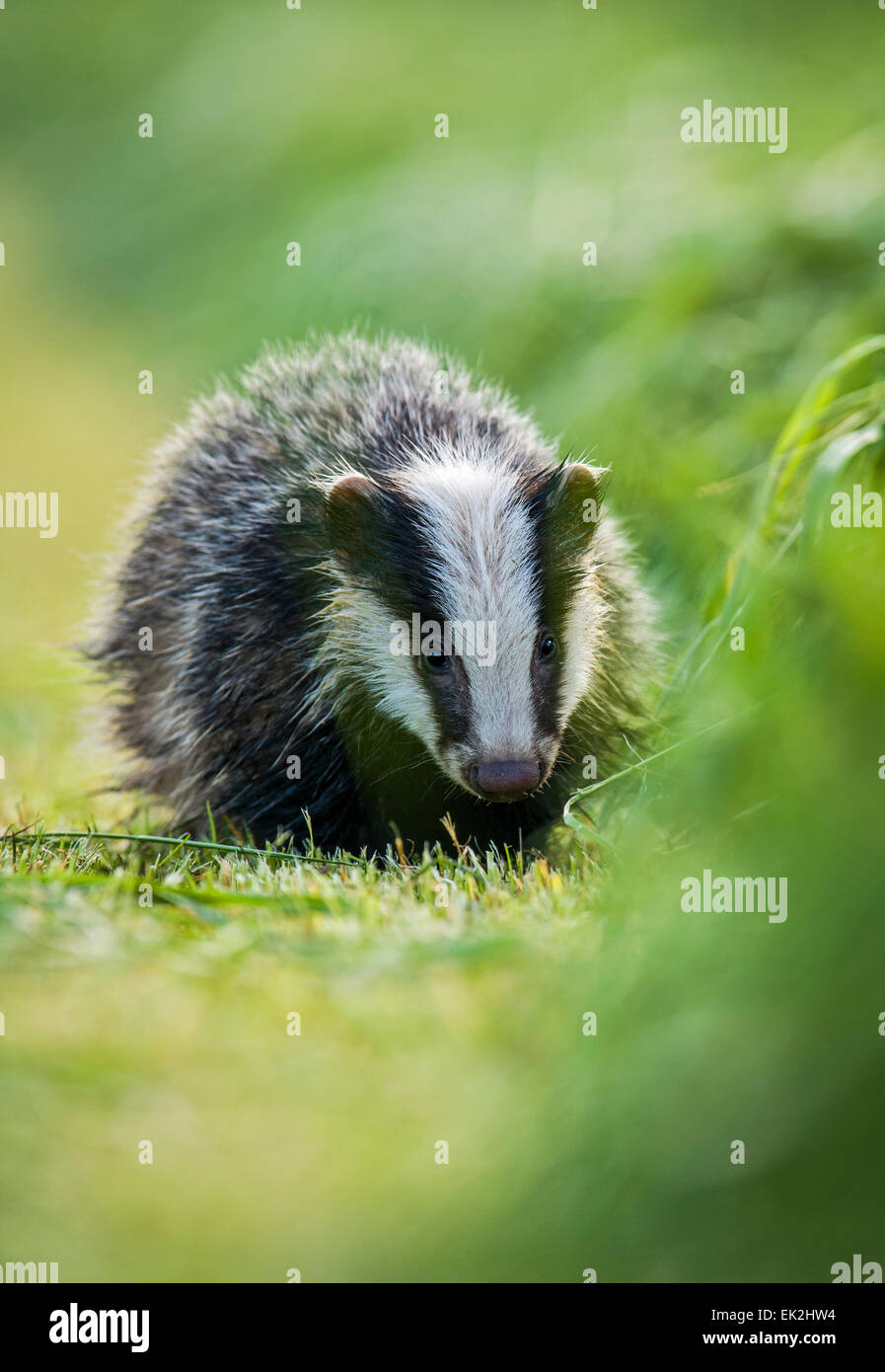 Young Badger foraging in a hayfield near Taunton Somerset - Stock Image