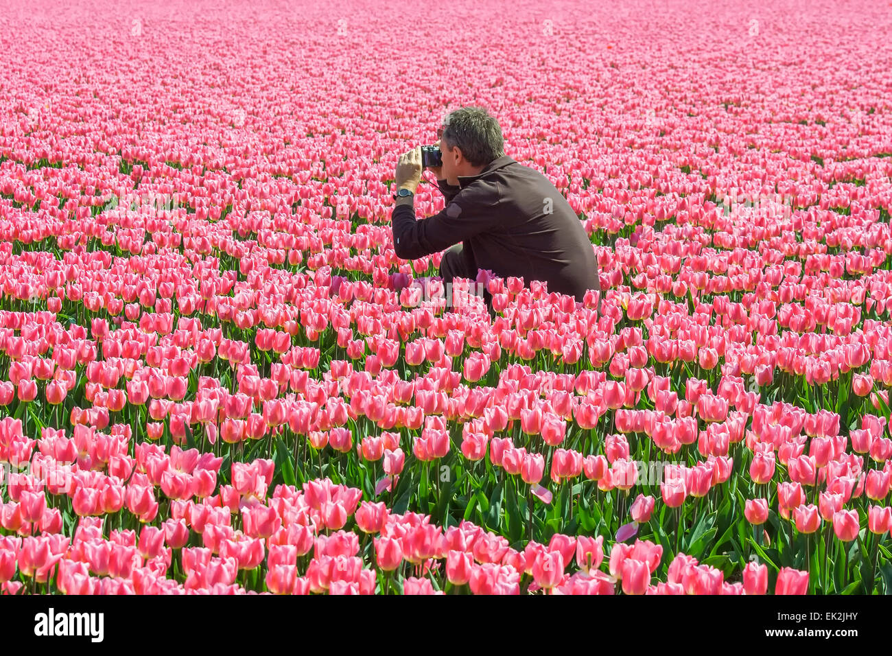 Man taking a picture in a tulip field - Stock Image