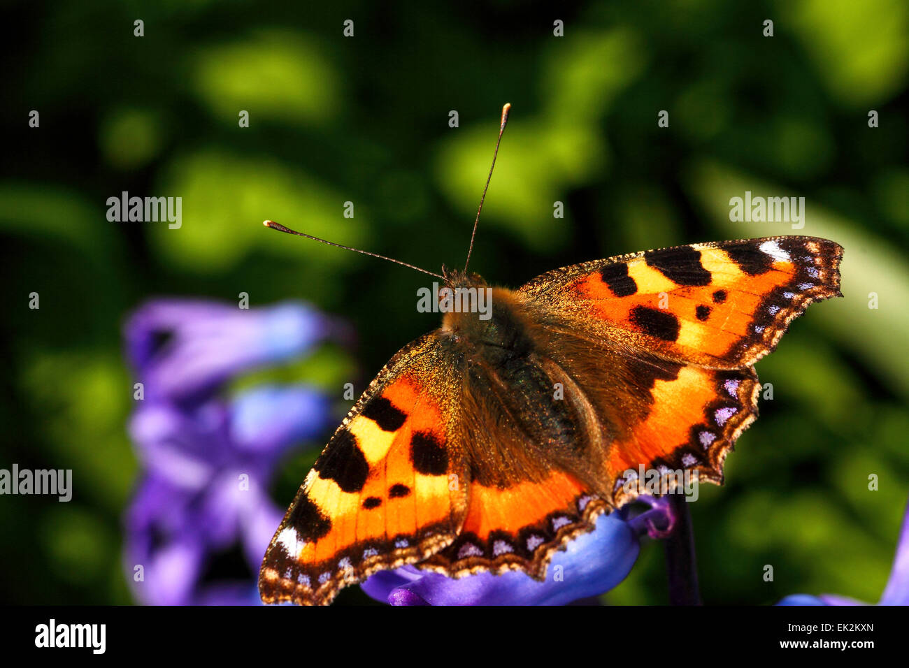 Leeds, UK. 6th April, 2015. A warm Bank Holiday Monday resulted in one of the first sightings of a tortoiseshell - Stock Image