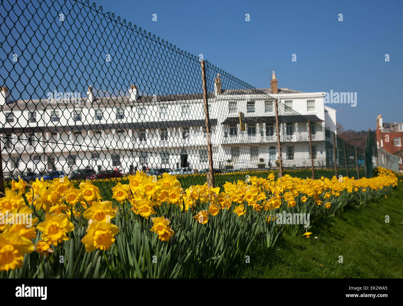 Sidmouth, UK. 06th Apr, 2015. A project to plant one million bulbs – the dying wish of a Canadian millionaire, is - Stock Image
