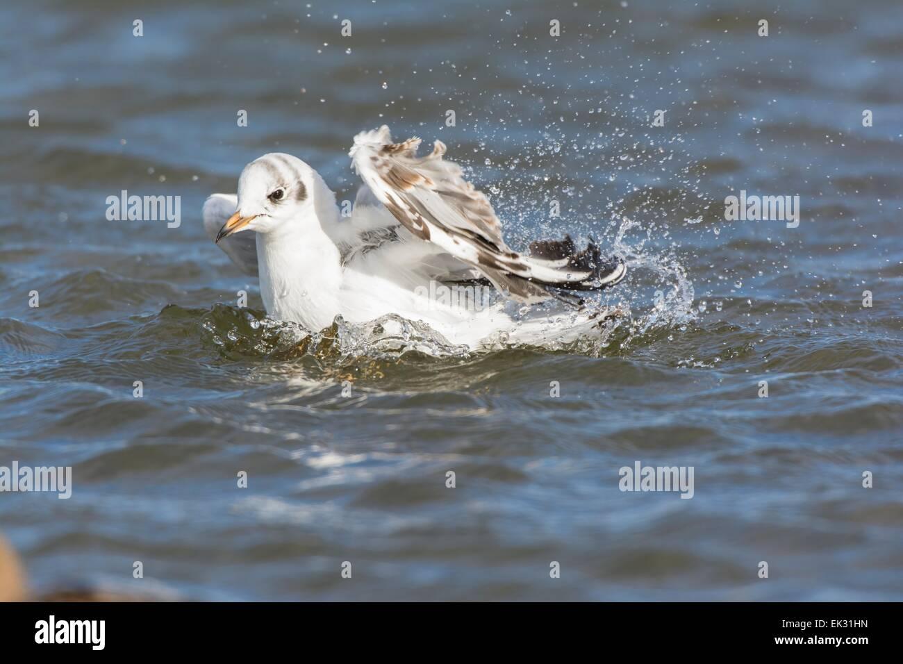 Black headed gull Chroicocephalus ridibundus, juvenile bathing, England February - Stock Image