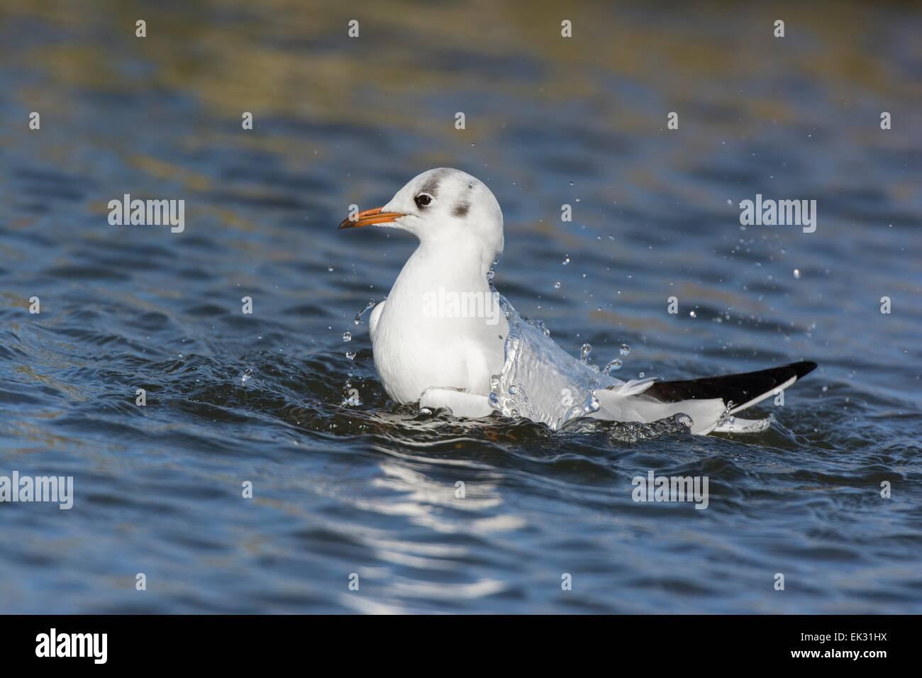Black headed gull Chroicocephalus ridibundus, adult bathing, England February - Stock Image