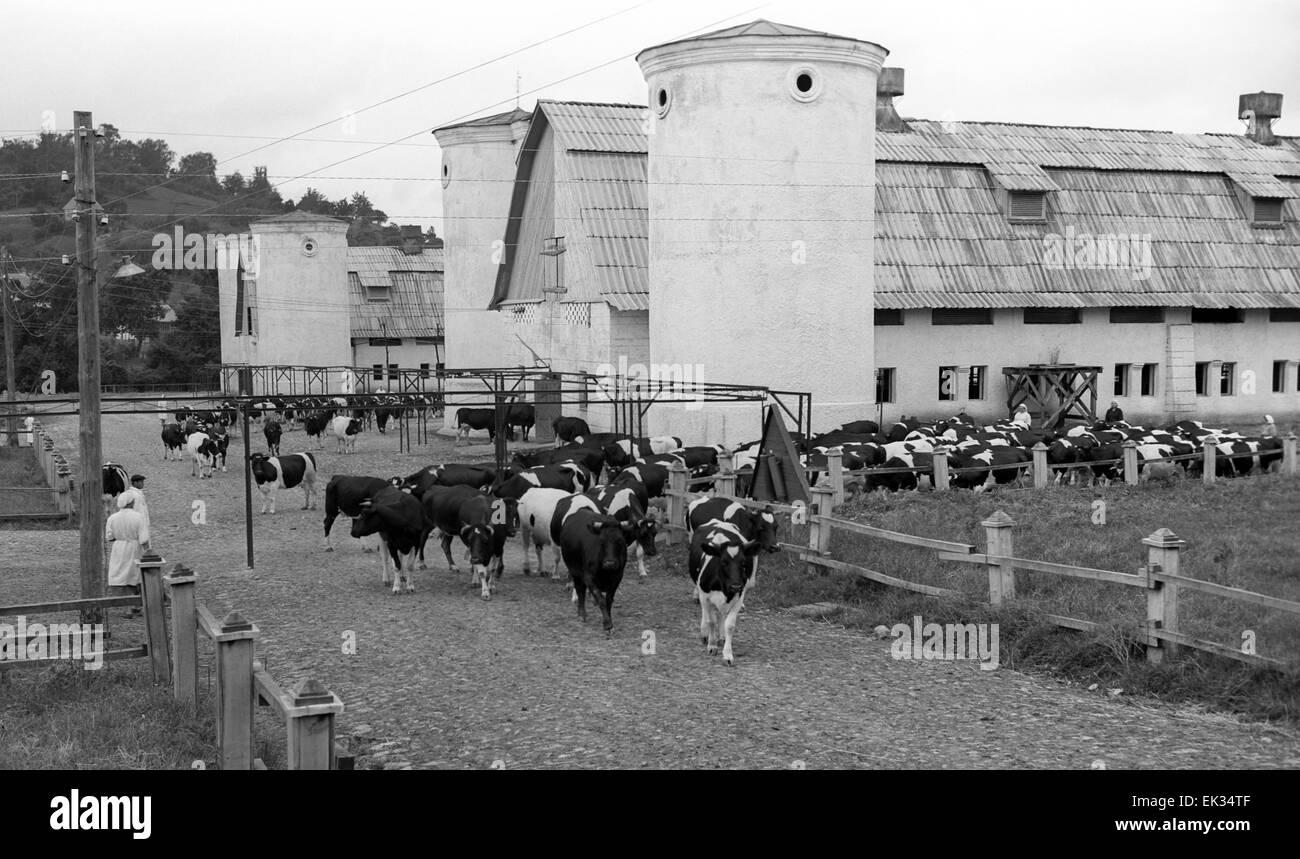 Latvian SSR. USSR. Livestock-breeding collective farm. - Stock Image