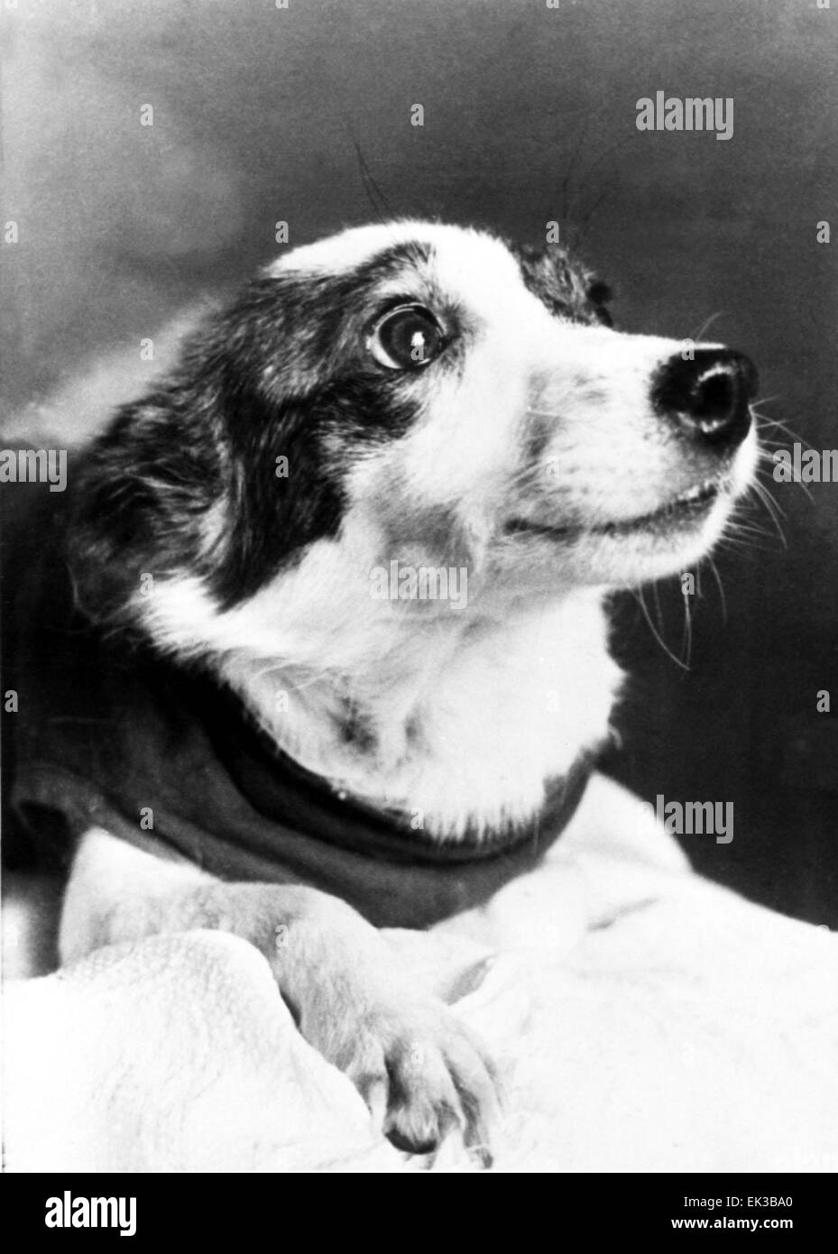 Strelka In Pic Was One The Two Russian Dogs That Went Into Orbit