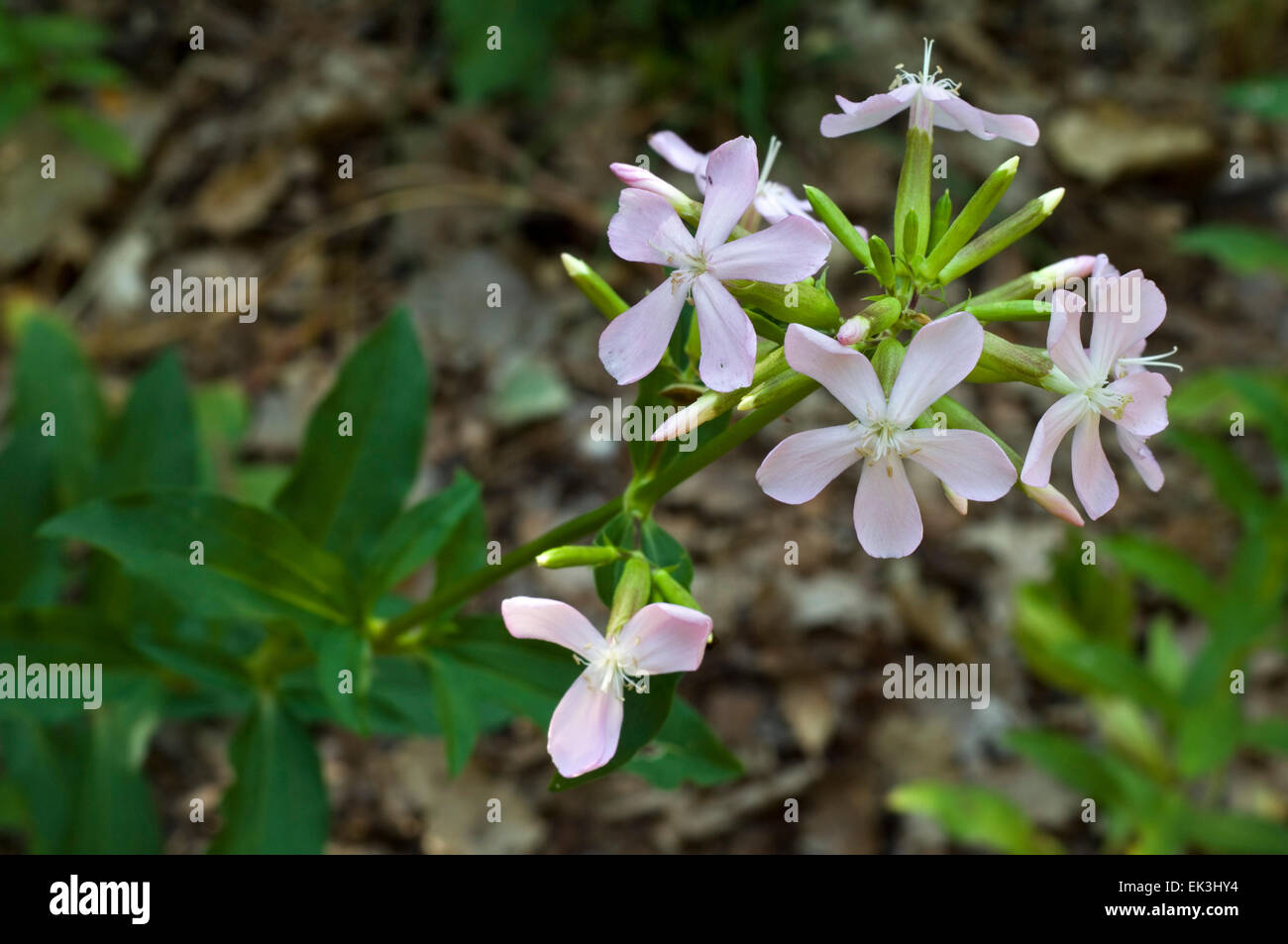 Soap aloe / common soapwort / bouncing-bet (Saponaria officinalis) in flower - Stock Image