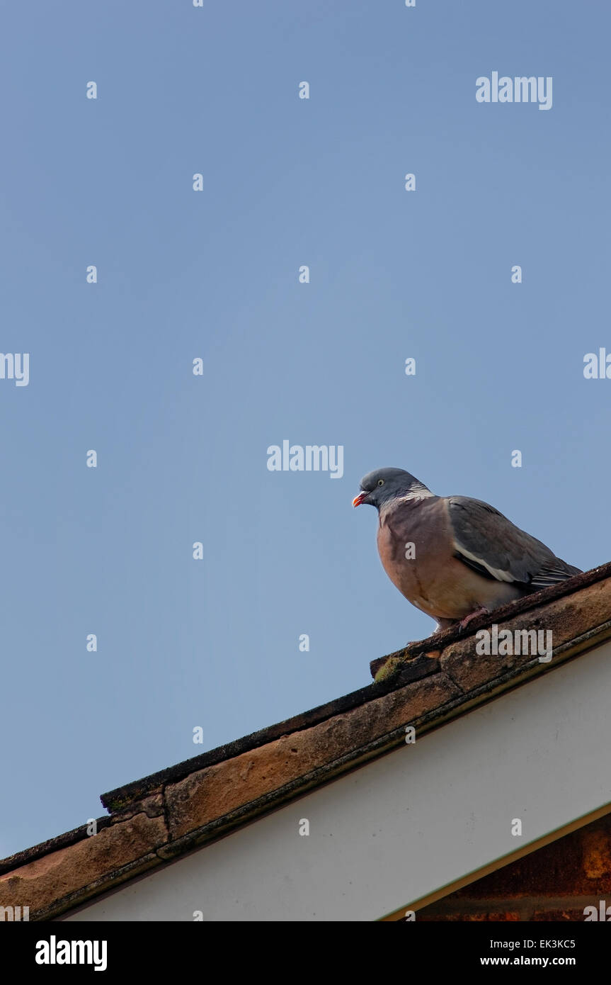 Domestic pigeon perched on rooftop of house against a blue sky. Stock Photo