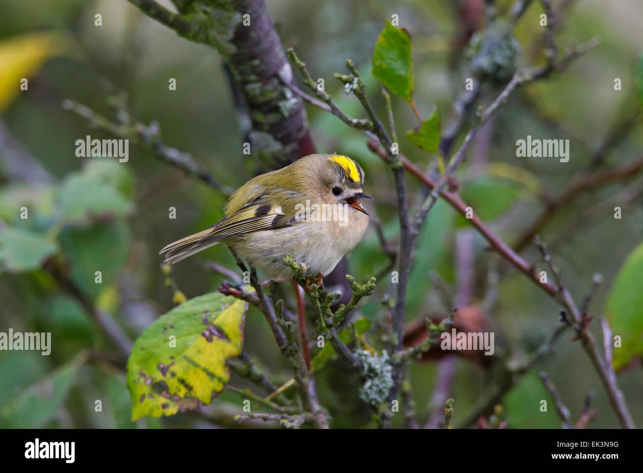 Goldcrest (Regulus regulus) calling from tree - Stock Image
