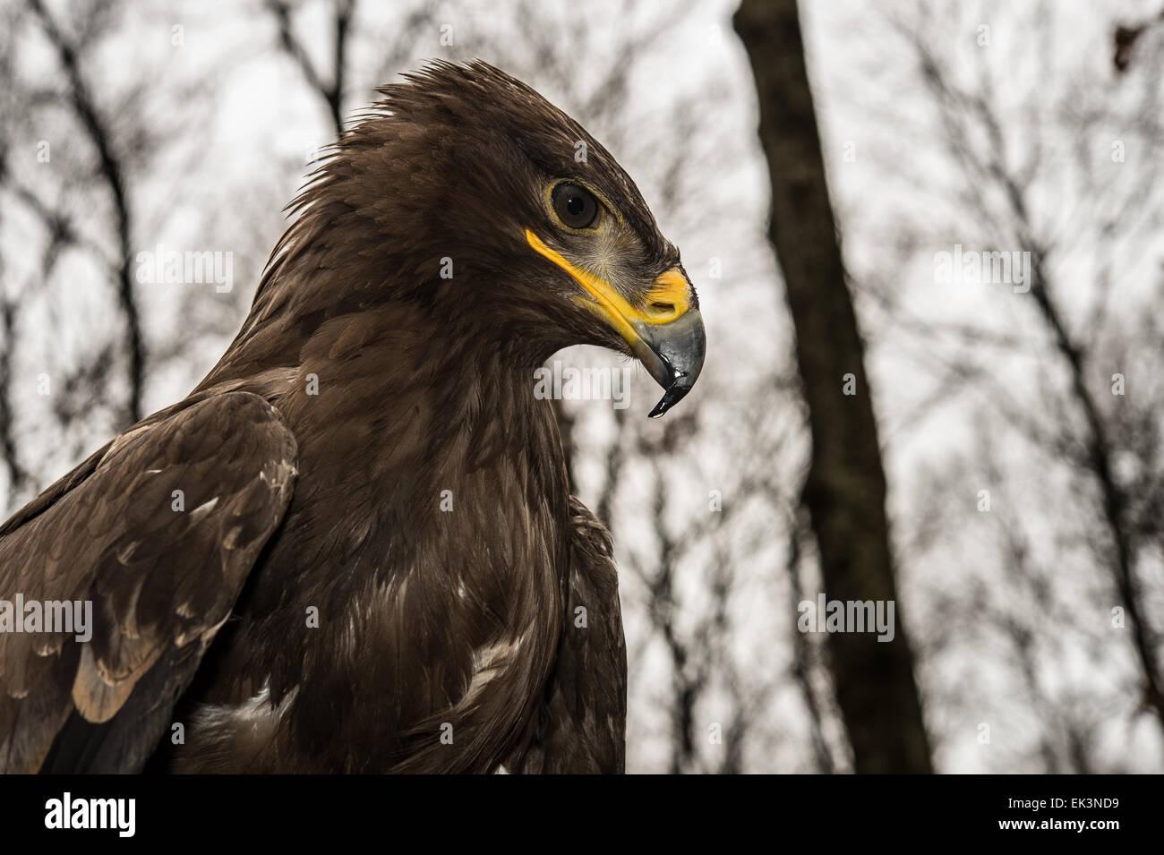 Steppe Eagle, Aquila nipalensis, Accipitridae - Stock Image