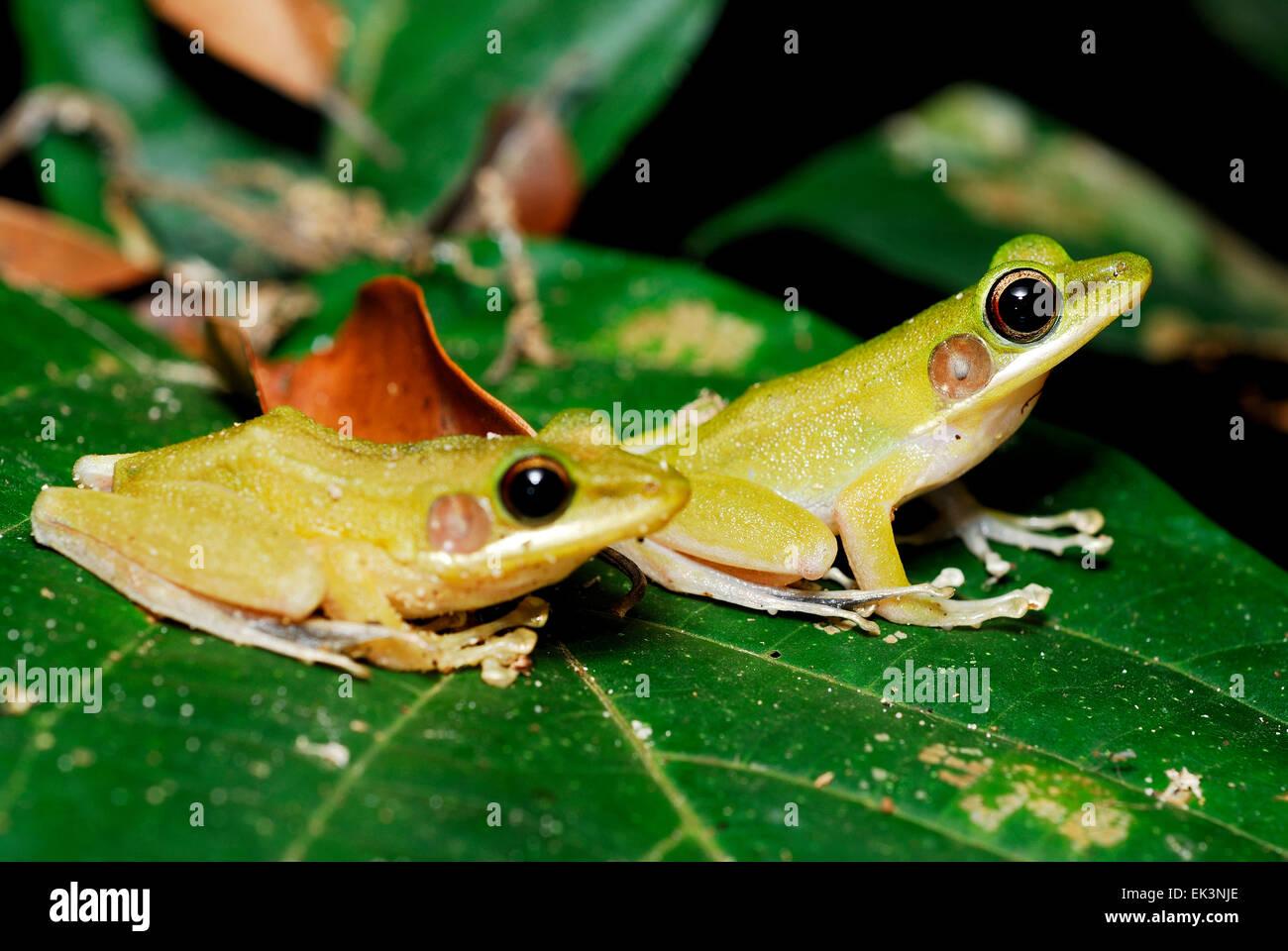 Green frogs (Hylarana raniceps) on a green leaf in Kubah, Sarawak, Malaysia, Borneo - Stock Image