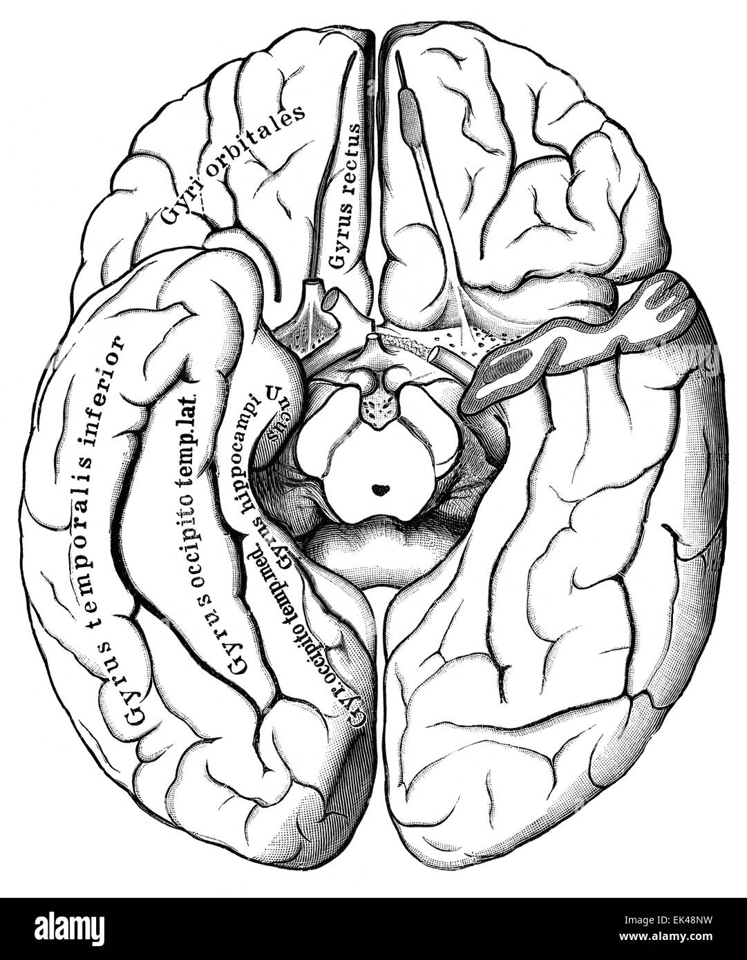 The human brain seen from below, - Stock Image
