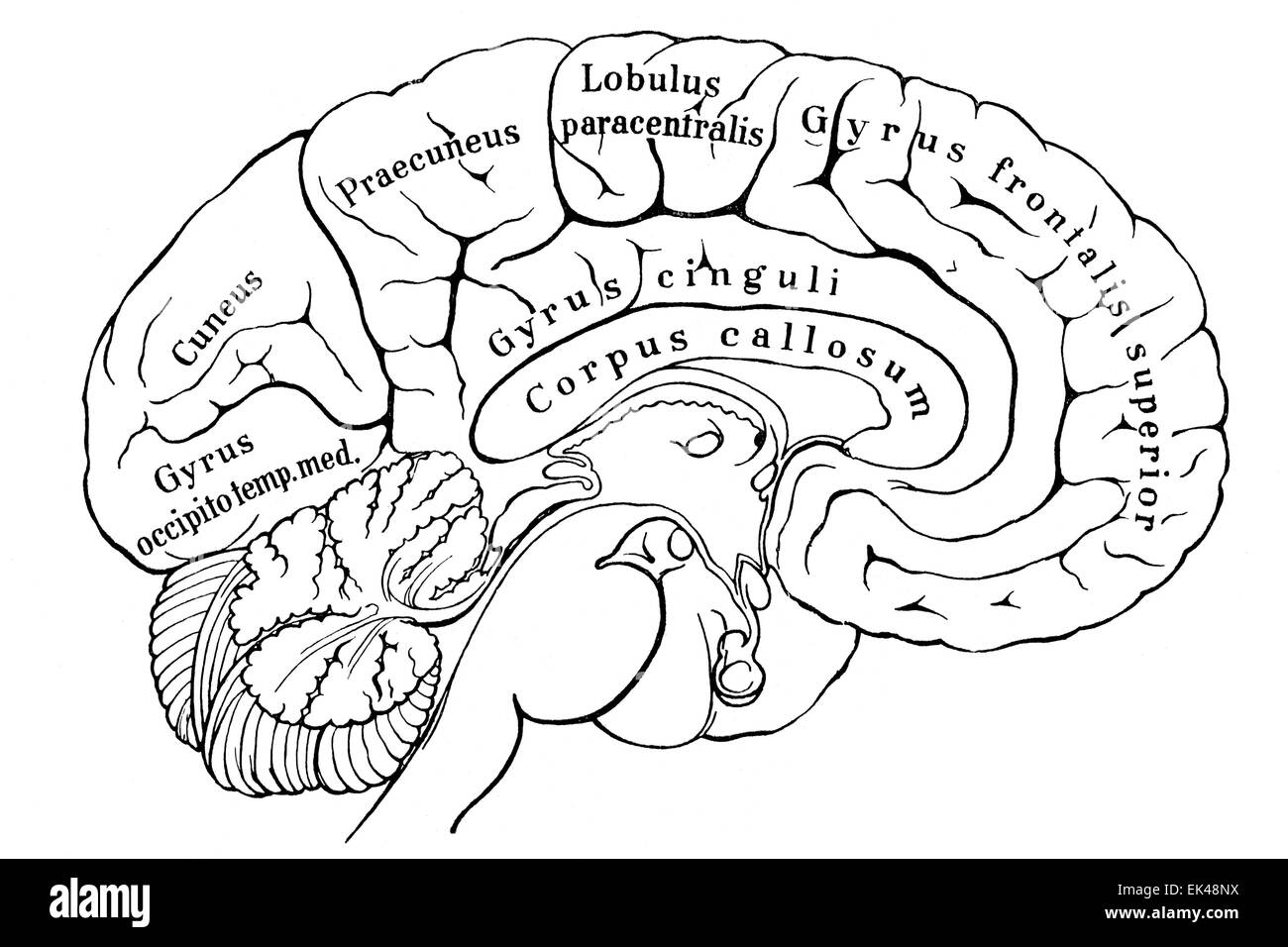 Section of the left hemisphere of the human cerebrum - Stock Image