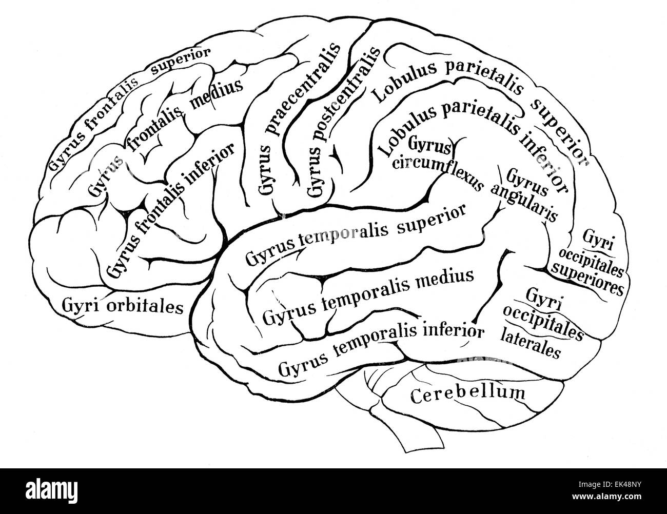cerebrum black and white stock photos images alamy