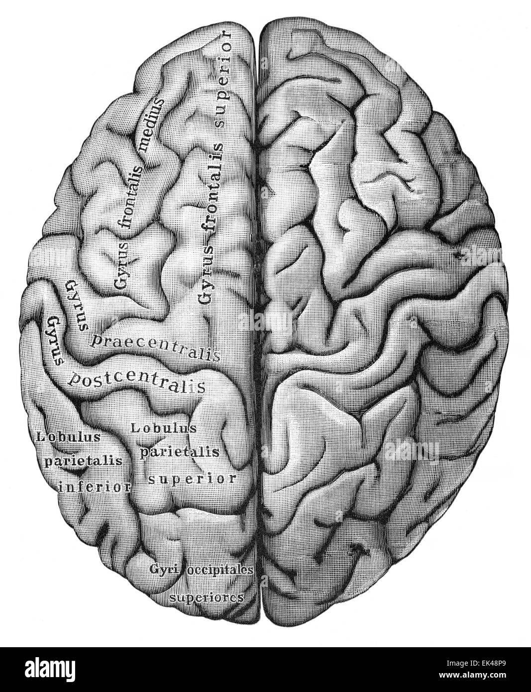 The human cerebrum seen from above, Stock Photo