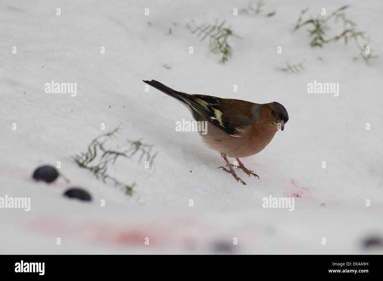 Chaffinch. Male chaffinch (Fringilla coelebs) in the snow. Chaffinches are non-migratory birds that eat mainly seeds. - Stock Image