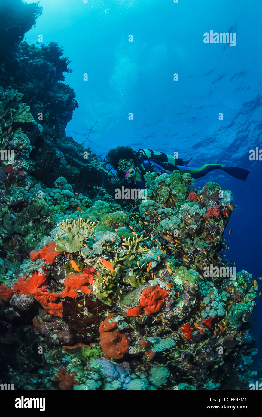 SUDAN, Red Sea, U.W. photo, a diver on the reef with tropical Anthias and fire corals (Millepora complanata) - Stock Image