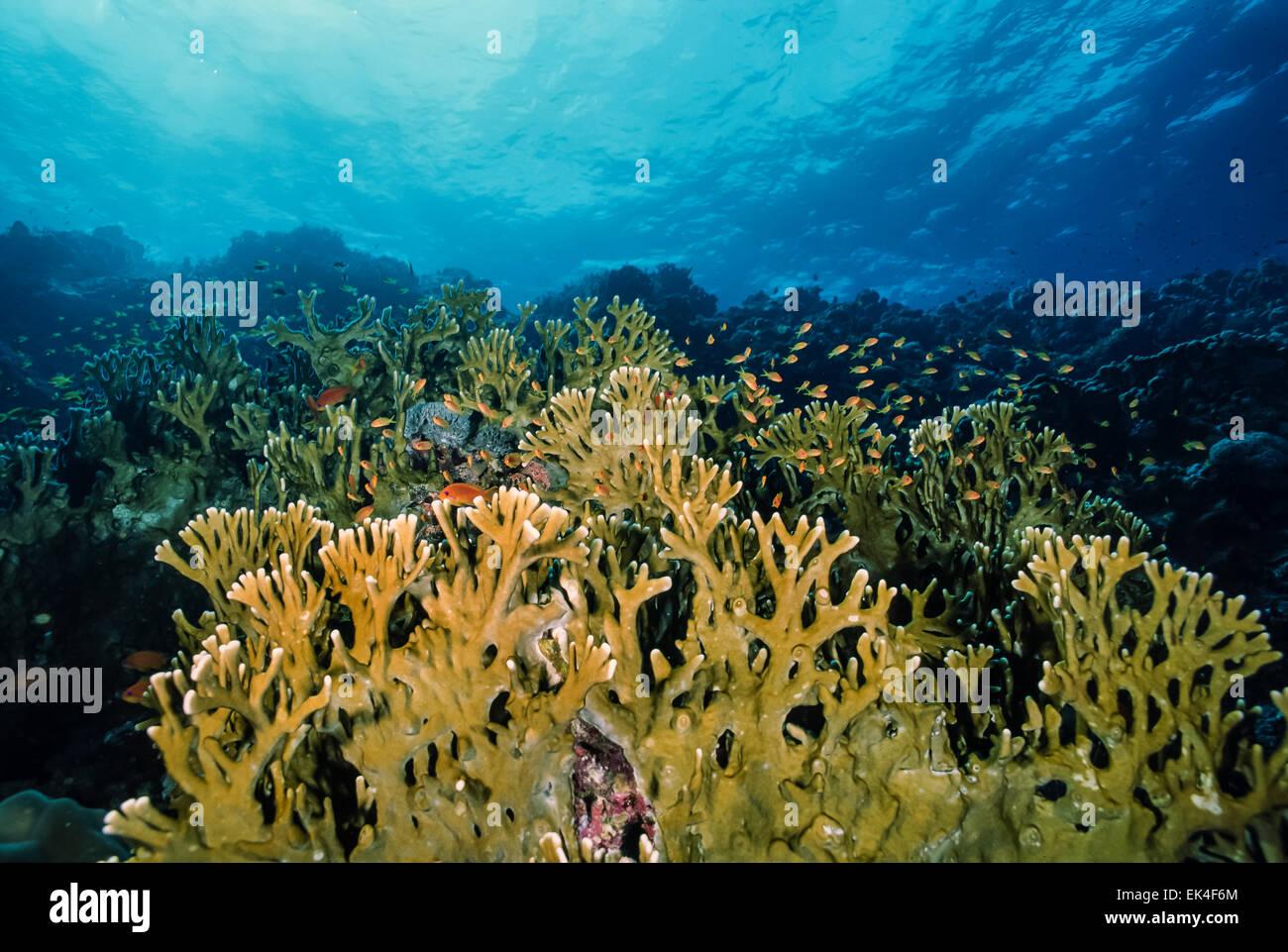 SUDAN, Red Sea, U.W. photo, fire corals (Millepora complanata) - Stock Image