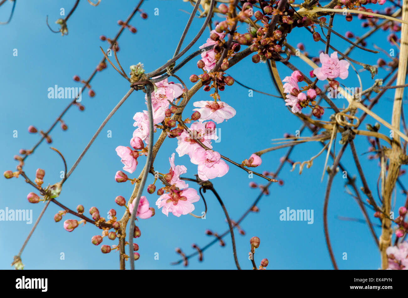 Blossom on an Ornamental Plum tree (also known as cherry plum, myrobalan plum, flowering plum, Prunus cerasifera) - Stock Image