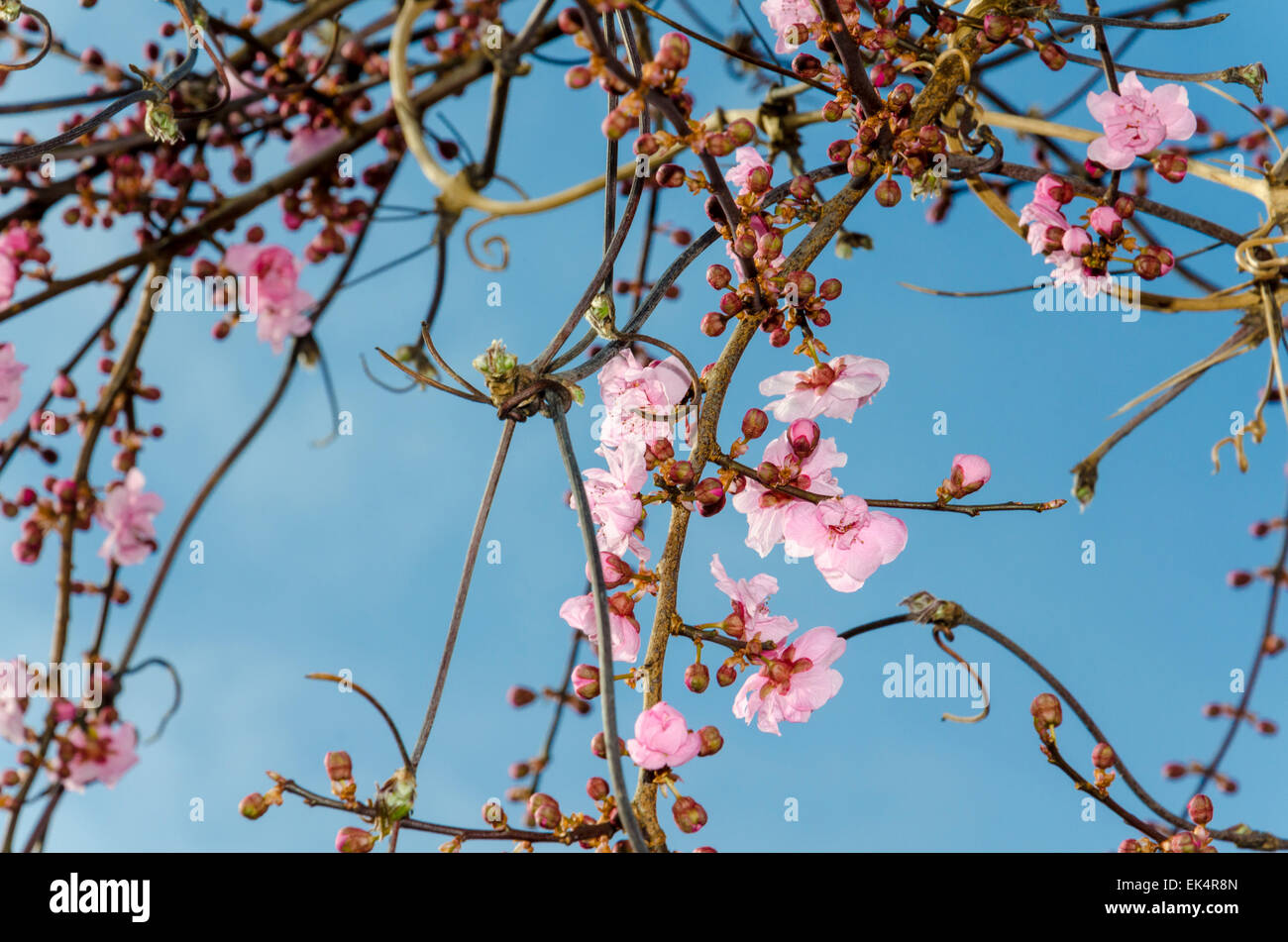 Blossom on an Ornamental Plum tree (also known as cherry plum, myrobalan plum, flowering plum, Prunus cerasifera) - Stock Image
