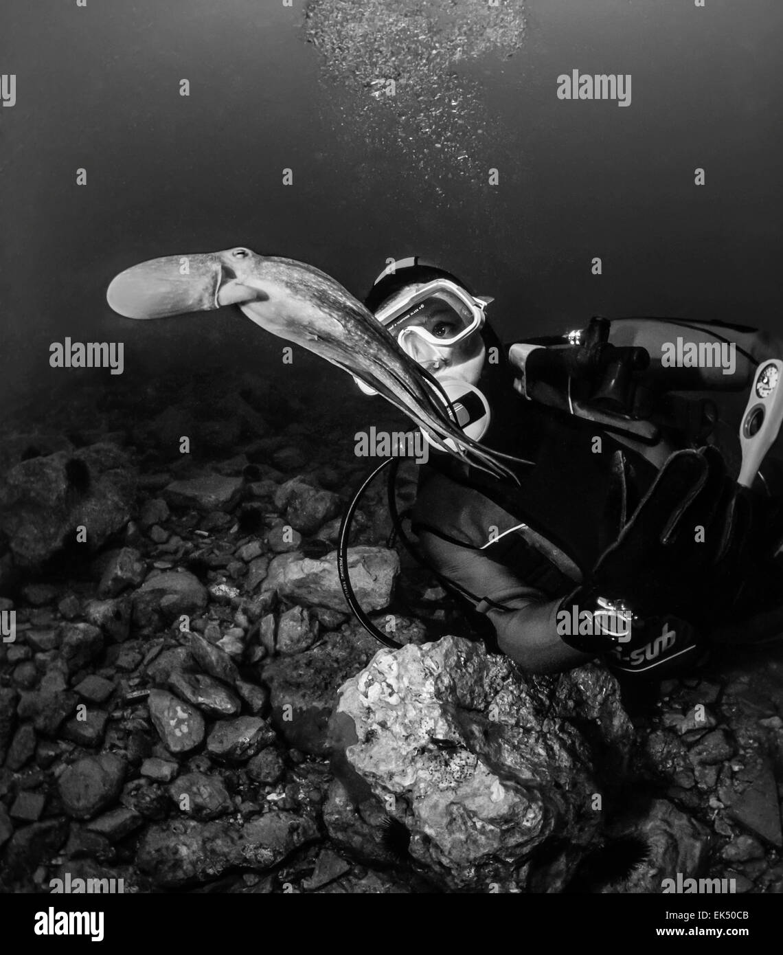 Montenegro, Adriatic Sea, U.W. photo, small octopus and diver - FILM SCAN - Stock Image